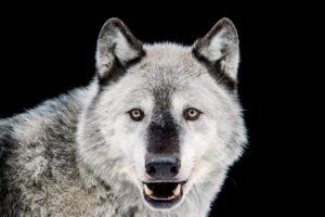 Gray Wolf Alaska Zoo - Joel Sartore